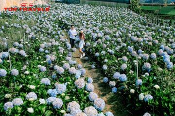 Vườn Hoa Cẩm Tú Cầu Nổi Tiếng Ở Đà Lạt