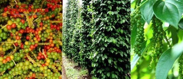 Vườn Tiêu Tại Phú Quốc
