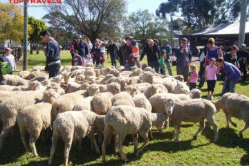 Nông Trại nuôi Cừu ở Pattaya Thái Lan